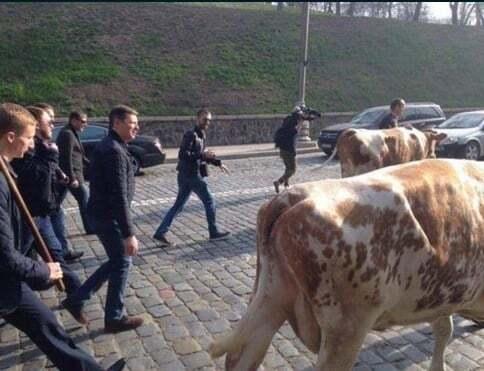 Ляшко привів під Кабмін корів: відеофакт