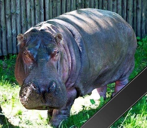 У Київському зоопарку померла найстаріша у світі бегемотиха