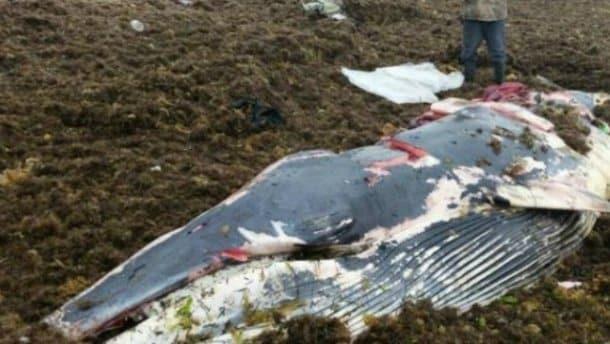 Вместо спасения: в России люди съели выбросившегося на берег кита