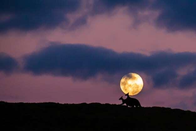 Романтика: сеть покорило фото двух влюбленных кенгуру на фоне полной Луны. Опубликованы фото