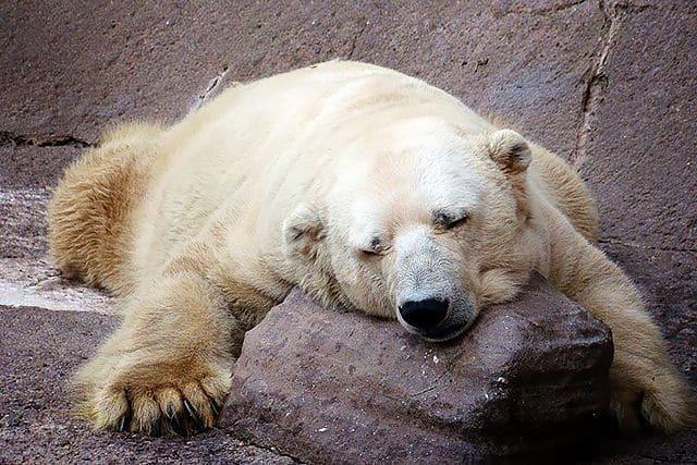 В аргентинском зоопарке умер самый грустный медведь в мире