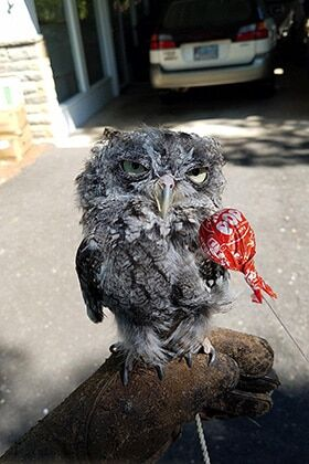 Раздраженная сова стала объектом фотошоп-битвы в сети