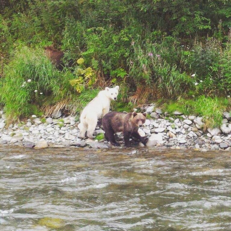 На Камчатці сфотографували бурого ведмедя з унікальним забарвленням