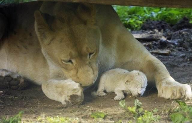 В венгерском зоопарке на глазах у посетителей родился белый львенок