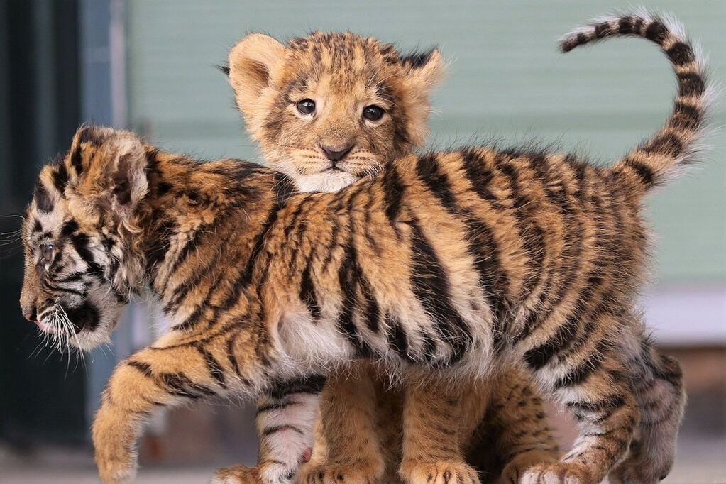 картинки львят и тигрята снять квартиру
