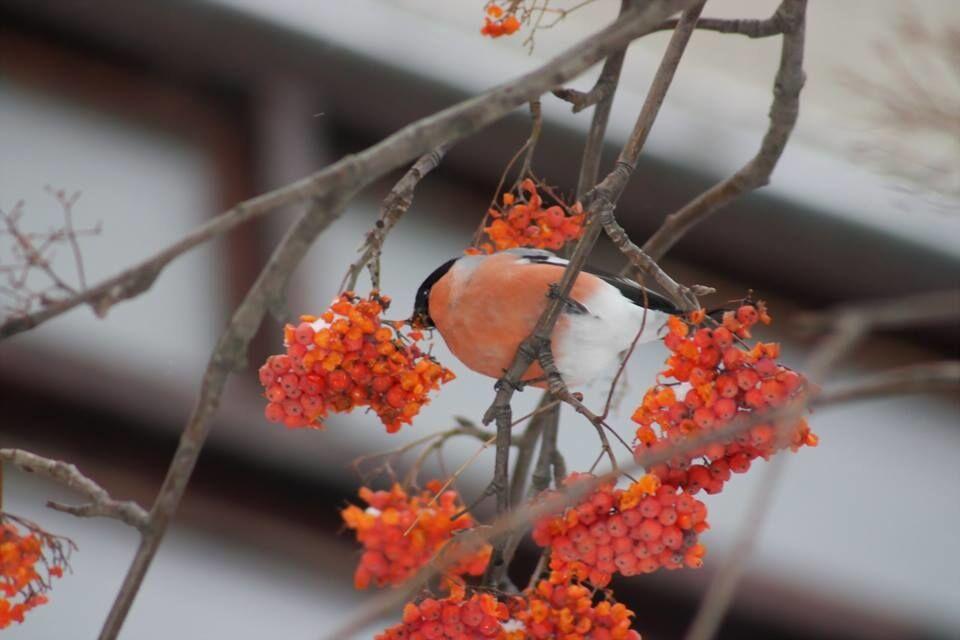 Пузатый обжора: в Киеве заметили редкостных зимних птиц