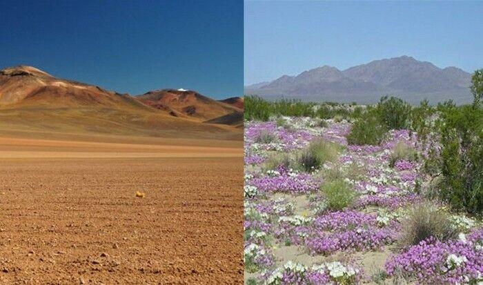 Невероятное природное явление: цветущая пустыня Атакама.