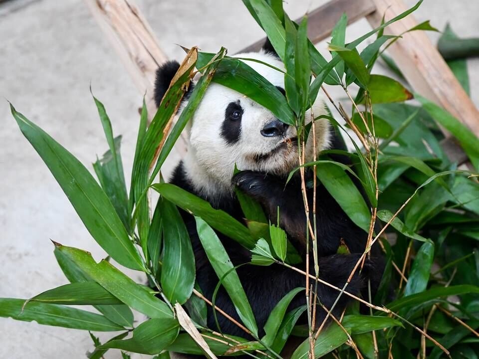 Холод и снег не пугают: опубликованы забавные фото панды из китайского зоопарка