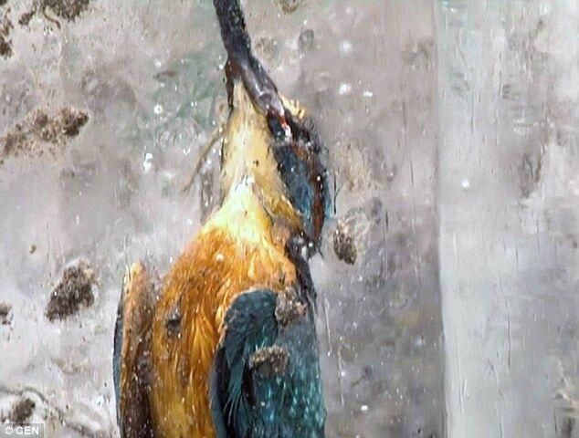 Трагично, но красиво: в Германии нашли двух птиц, замороженных в глыбе льда