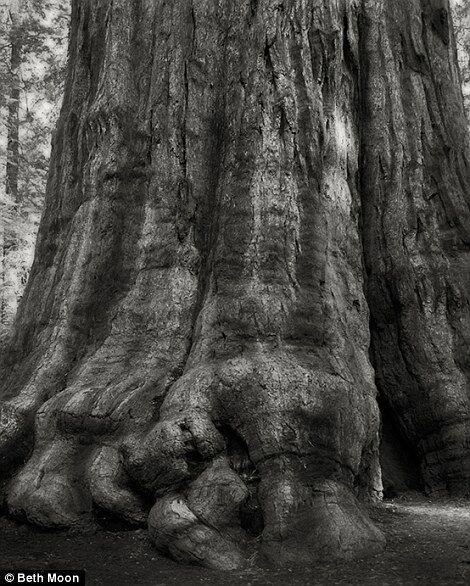 Древние гиганты: захватывающие фото самых больших деревьев мира