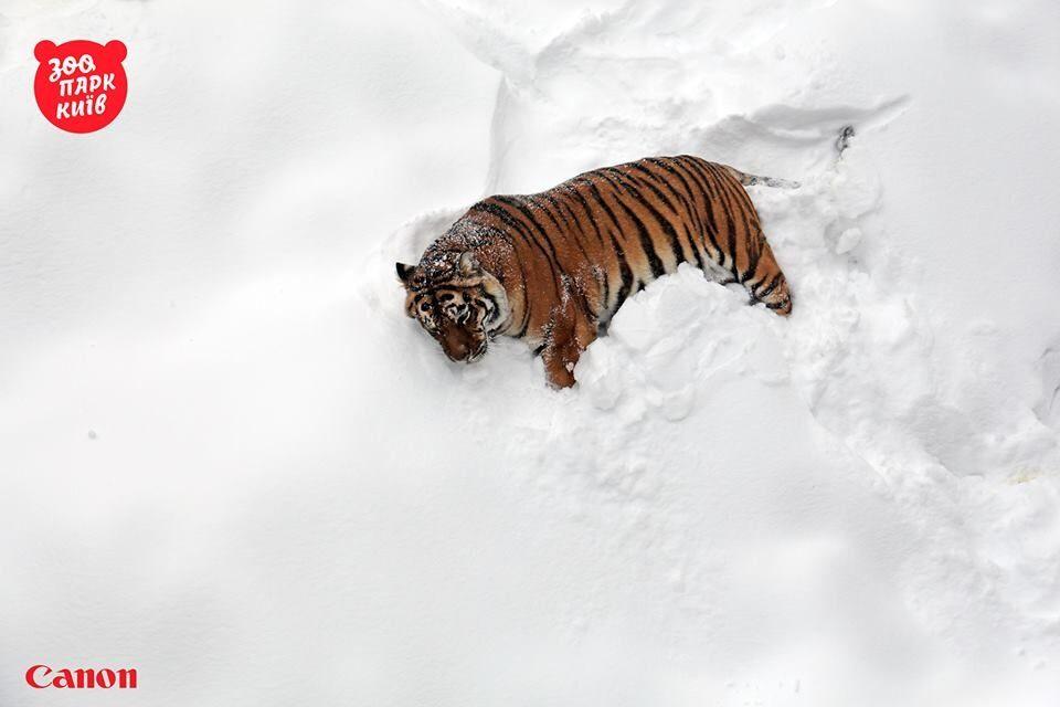 В соцсети показали радующихся снегу тигров из киевского зоопарка
