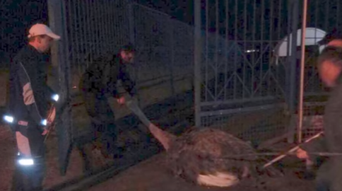 """Страусині перегони: в Дніпрі патрульні ловили незвичайних """"злочинців"""""""