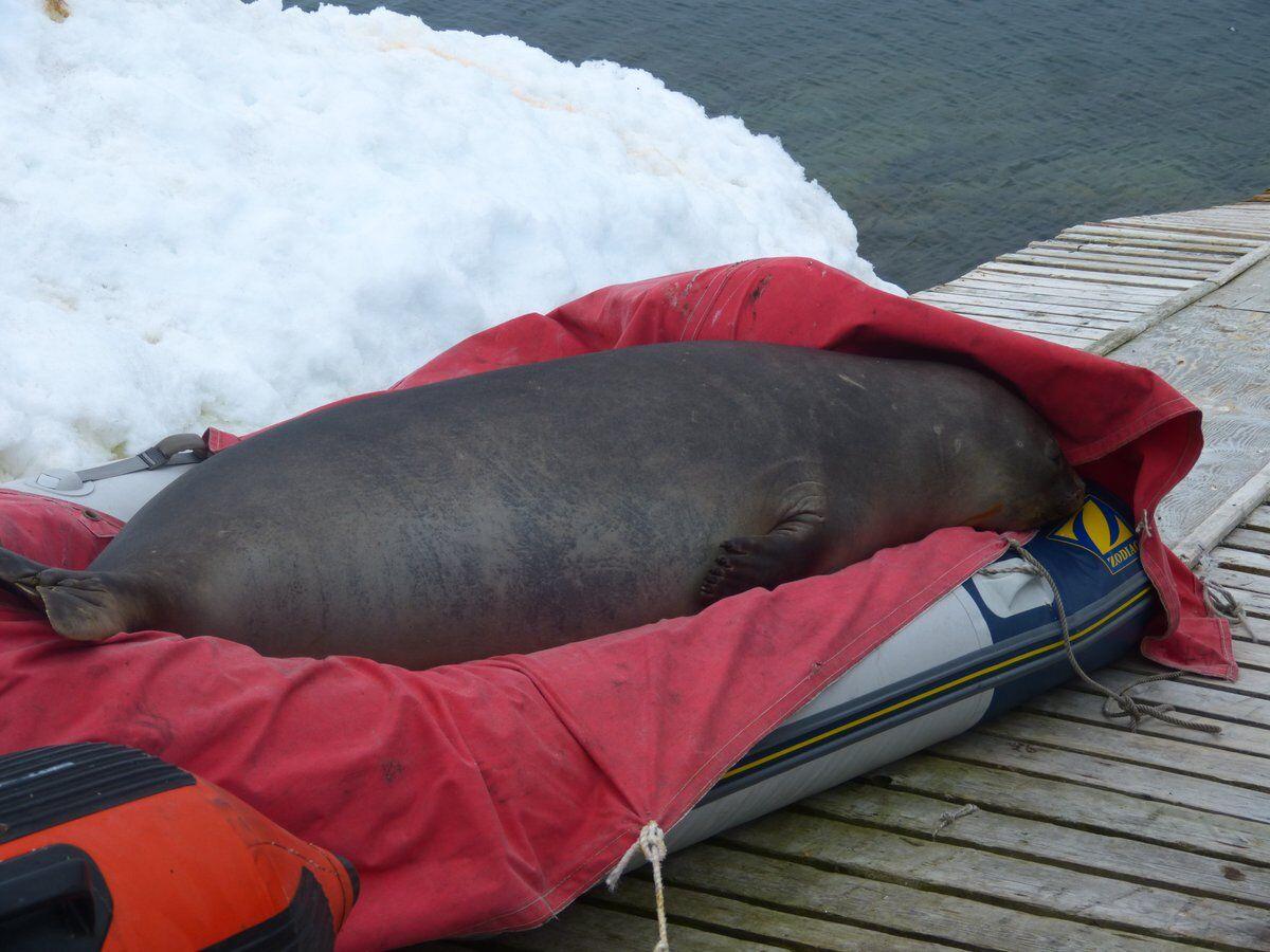 К украинским полярникам в гости наведалось огромное животное: появились трогательные фото