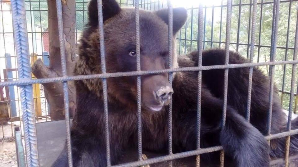 На Прикарпатье произошло жуткое ЧП с медведем: фото