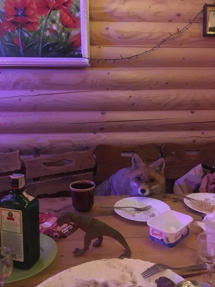 Лисиці заходять навіть до їдальні бази