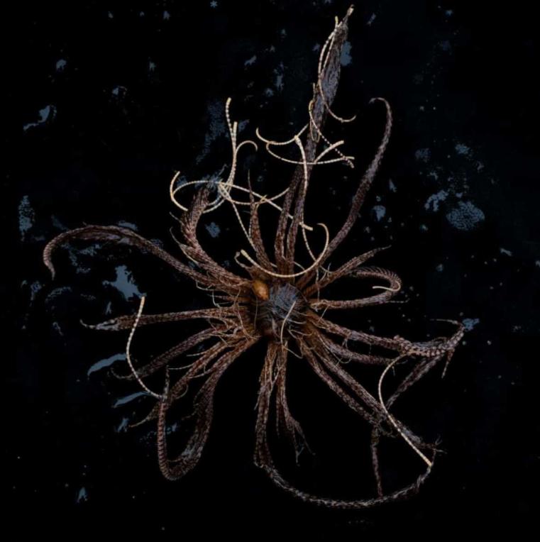 Антарктическая морская лилия
