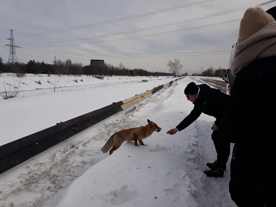 Тоже любит бутерброды: в Чернобыле встретили еще одного ручного лиса