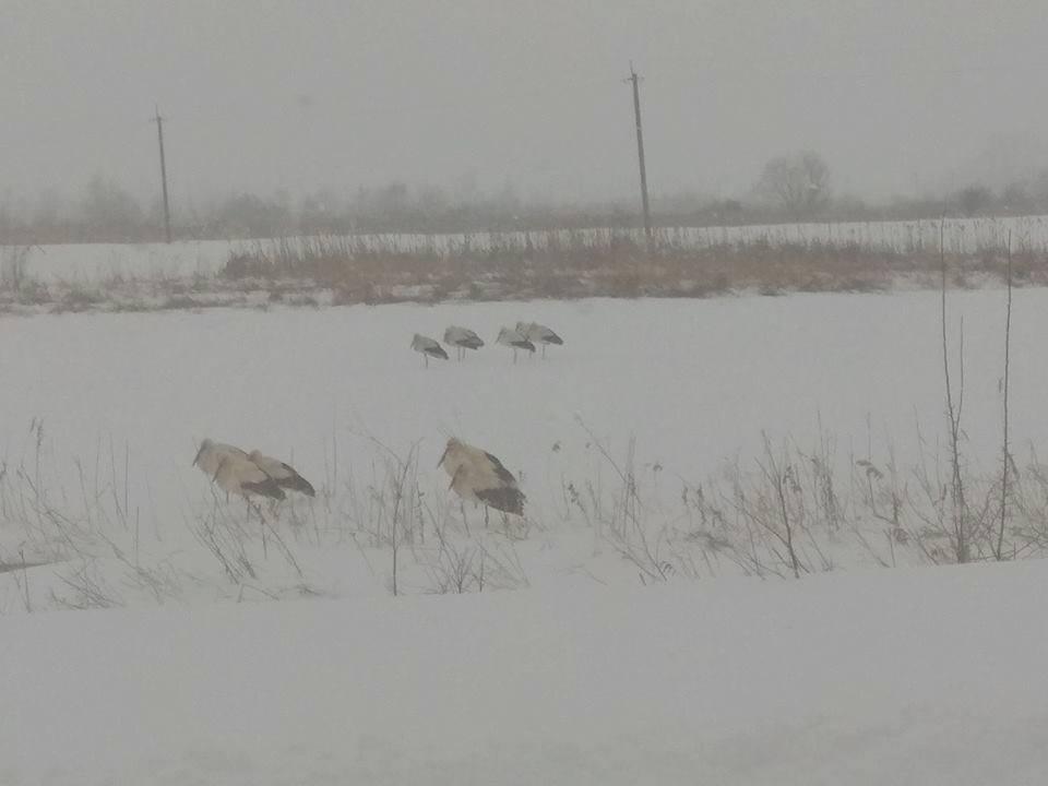 Как спасать аистов во время снегопадов: советы экологов
