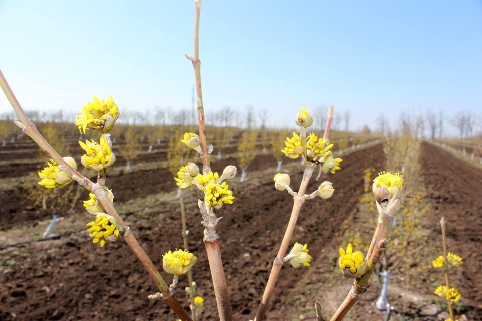 На Запоріжжі зацвів найбільший в Європі кизиловий сад