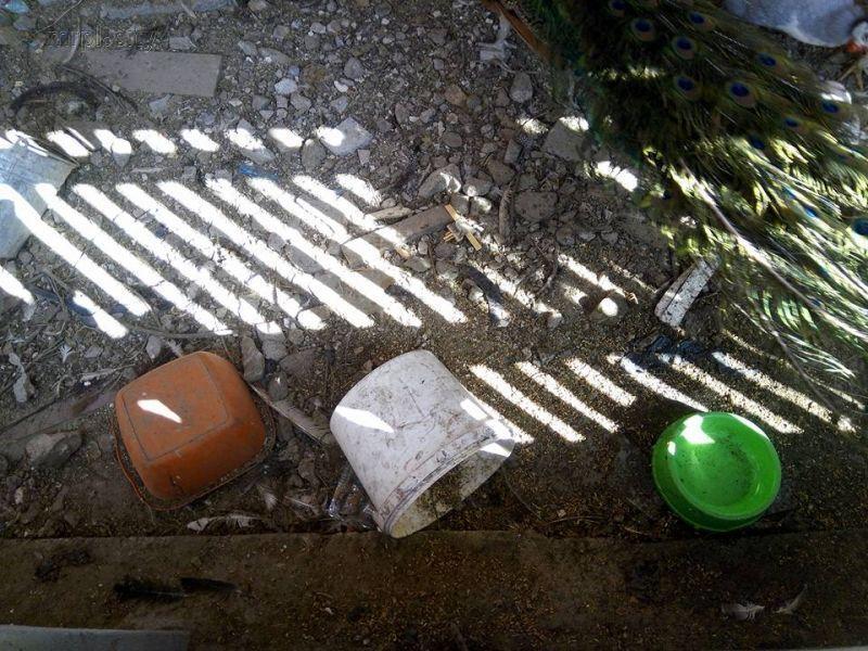 В парке Мариуполя голодают павлины