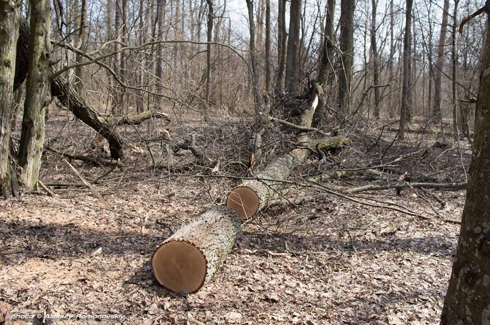 В Киеве украли 300-летние дубы