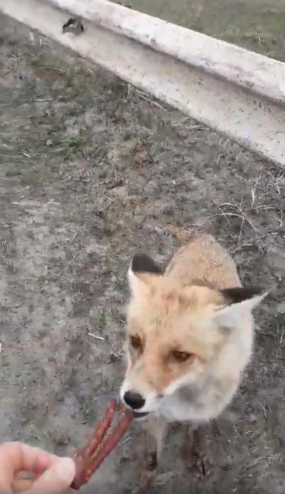 Полюбил колбасу: в Чернобыле встретили знаменитого лиса