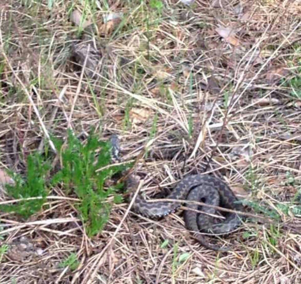 Отруйні змії в Києві: як врятуватися