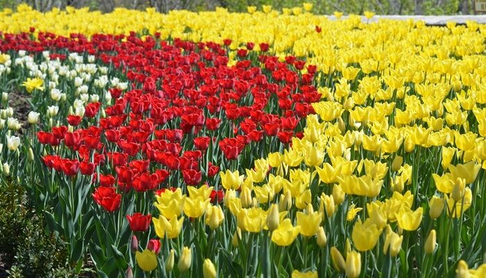 У міському саду Маріуполя розпустилася 21 тисяча тюльпанів