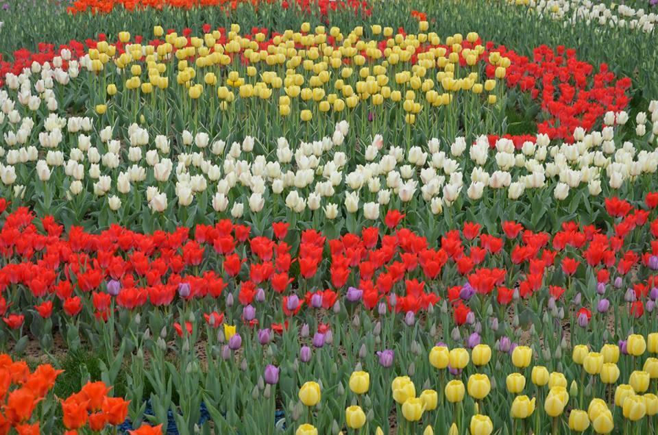У Києві відкрилася велика виставка тюльпанів: фоторепортаж