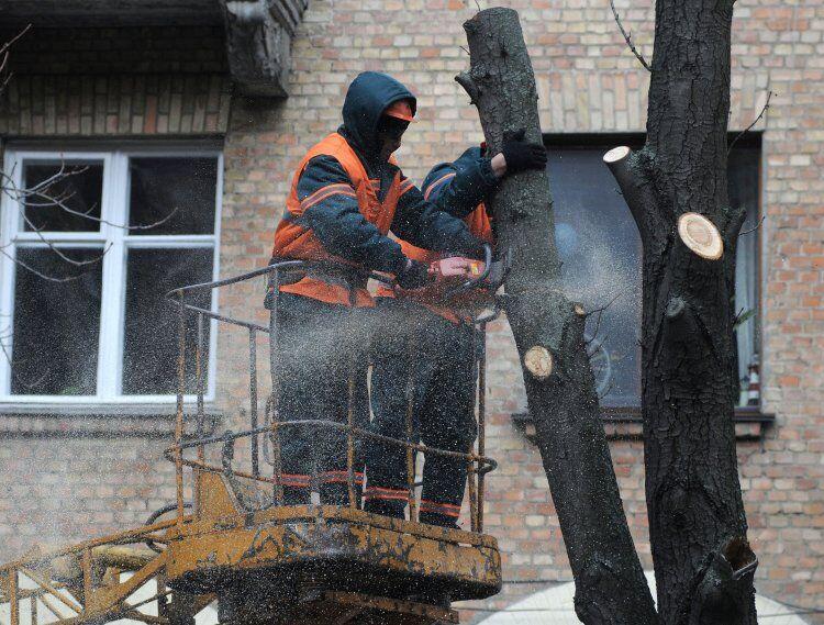 """Уродство """"под столб"""": как глубокая обрезка убивает деревья"""
