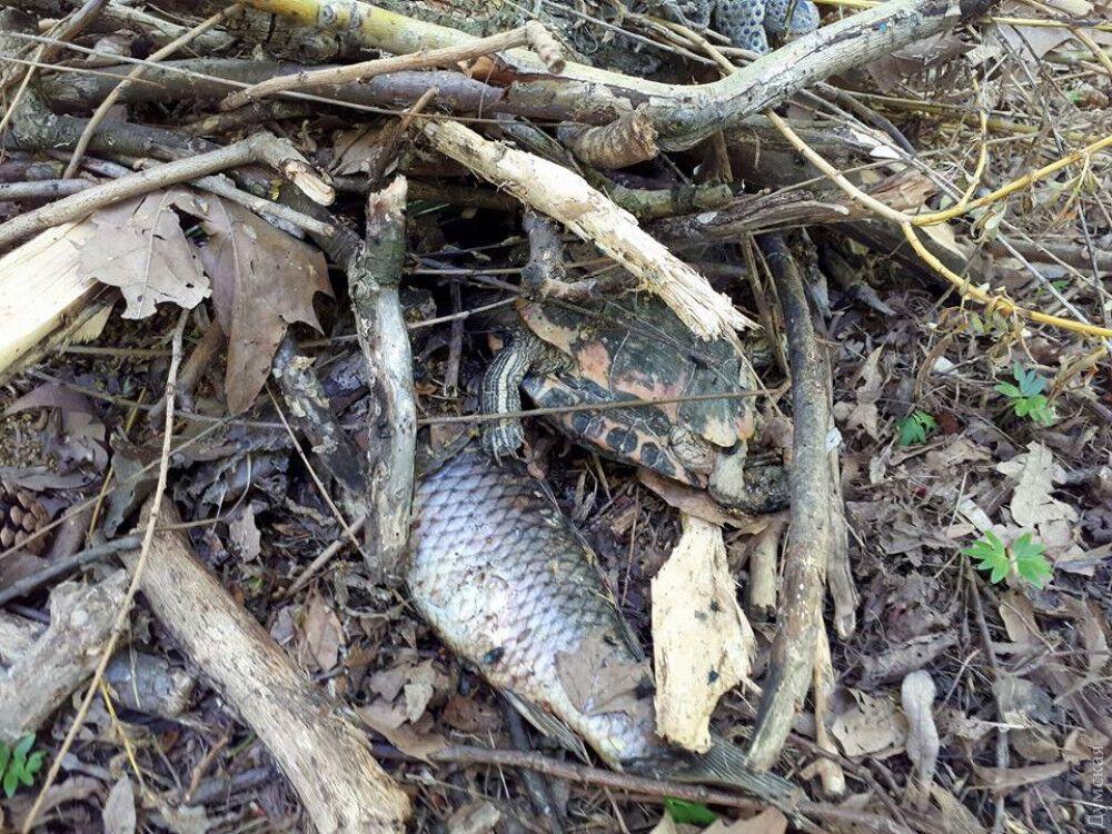 В Одессе из-за осушения пруда погибли рыбы и черепахи