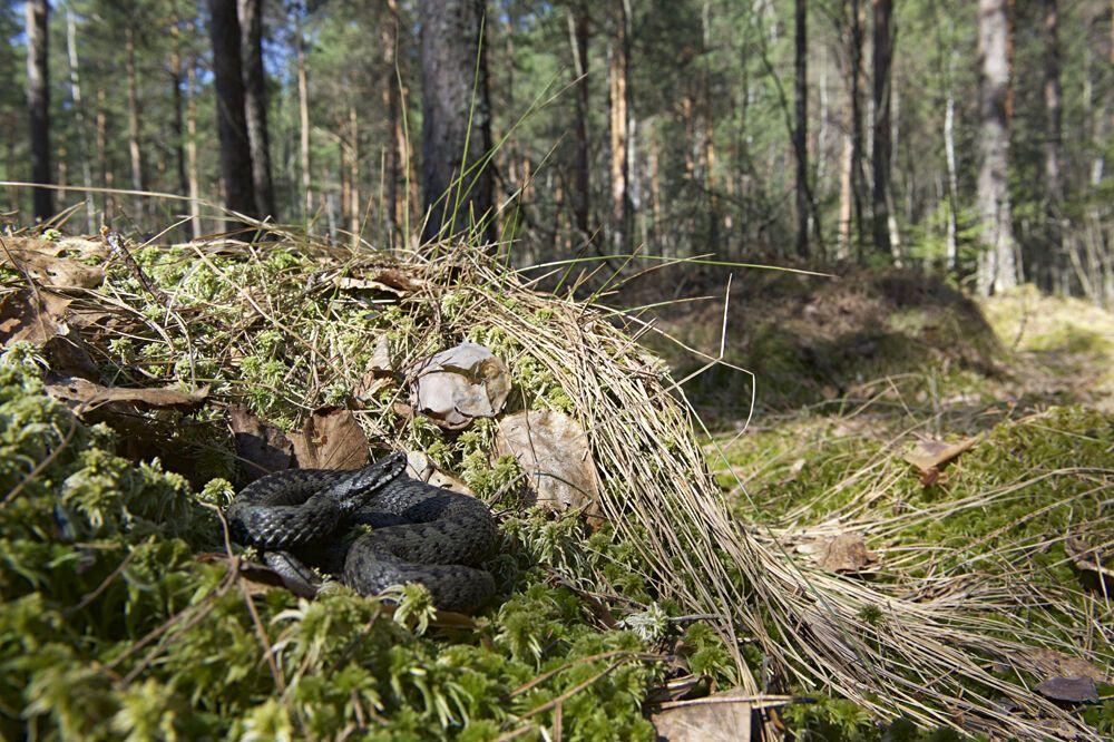 Гадюка в лесу
