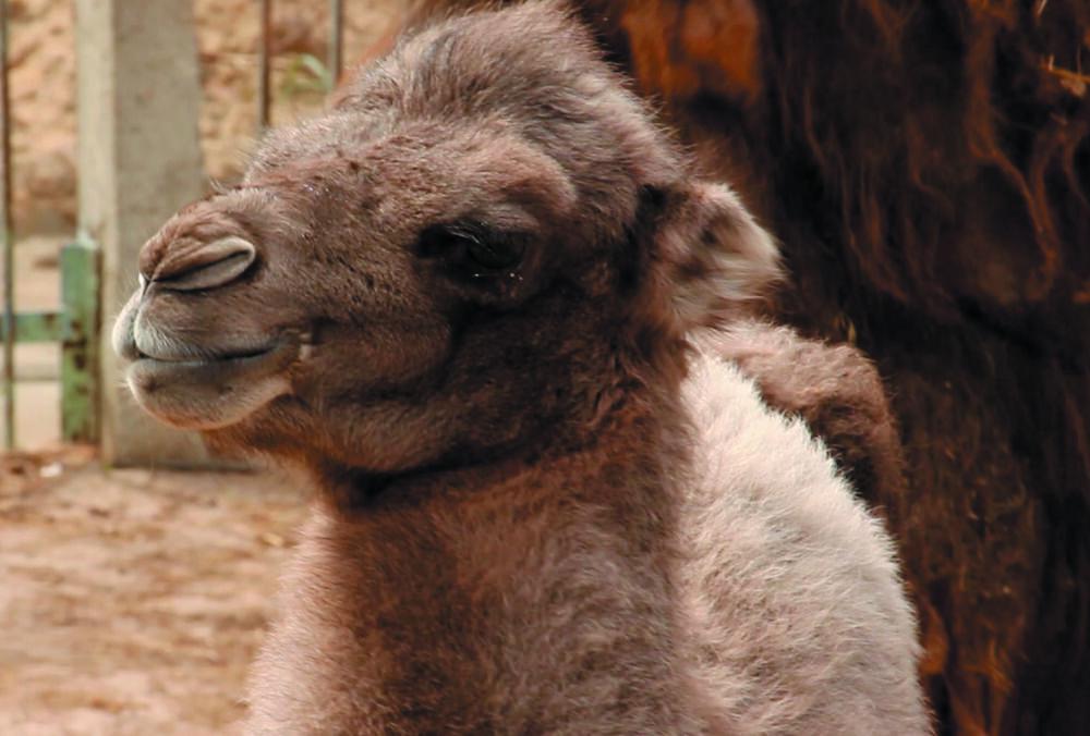 У зоопарку Харкова народилося верблюденя