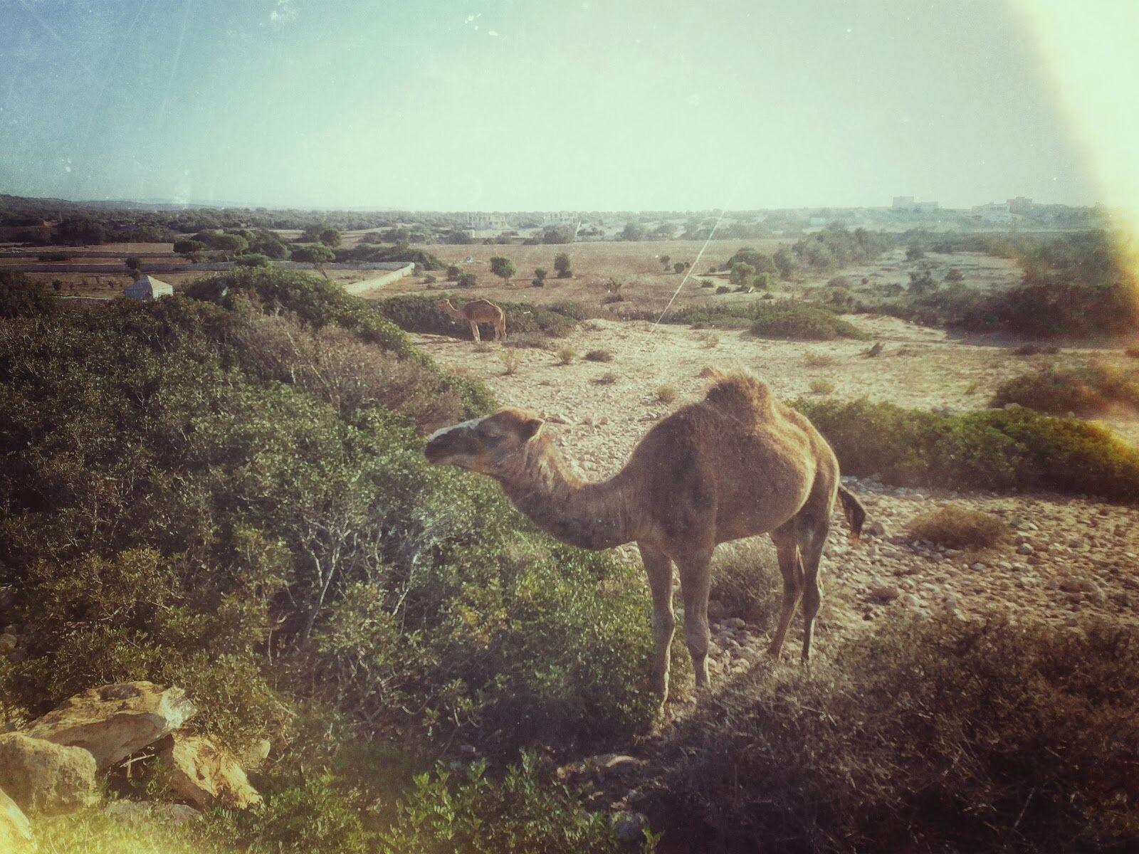 Верблюды возле Атлантики, Марокко