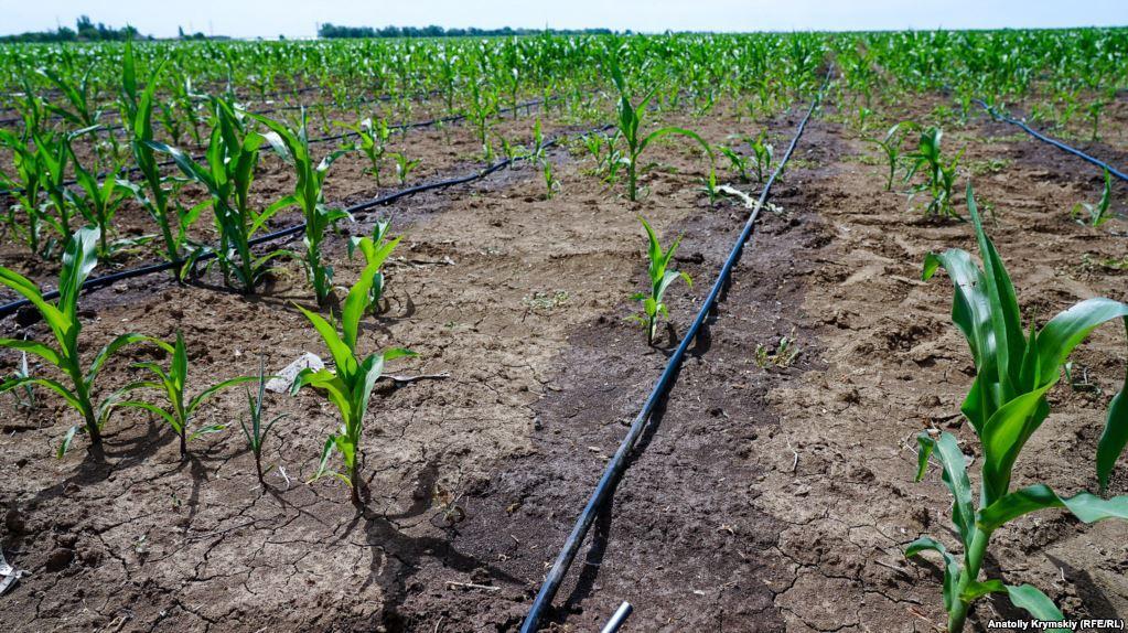 Кукурудзу намагаються врятувати поливом зі свердловин. Після висихання на поверхні грунту залишається сіруватий сольовий наліт