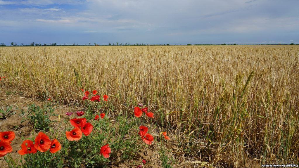 """Одне з постраждалих від посухи пшеничних полів """"Правди"""". Вціліло 240 гектарів, повністю загинуло - 760"""