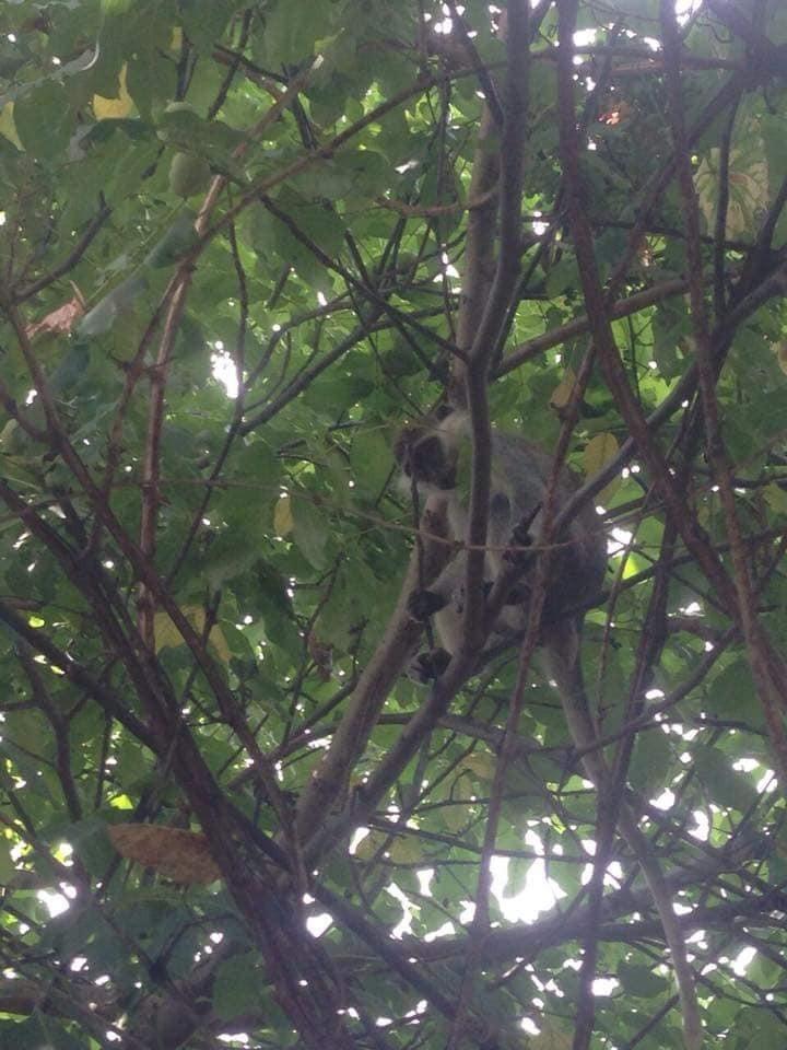 """""""Майже Бразилія"""": під Одесою розгулюють мавпи"""