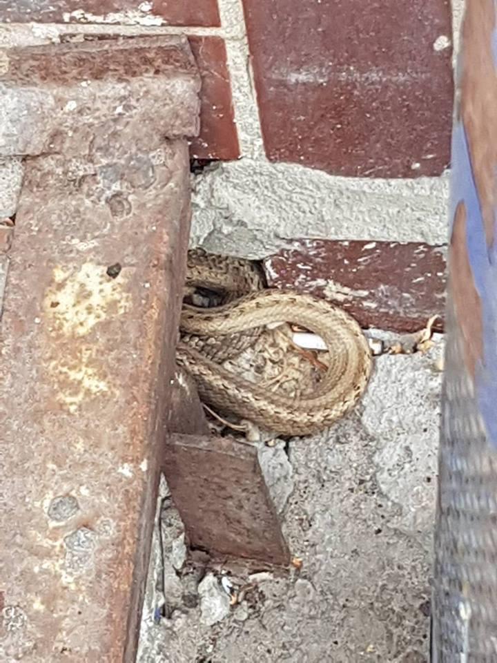 Редкая и ядовитая: в Киеве на улице нашли змею. Фото