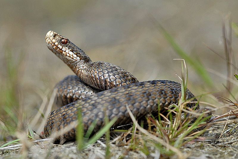 Чому не врятували вкушену змією в Карпатах дівчинку