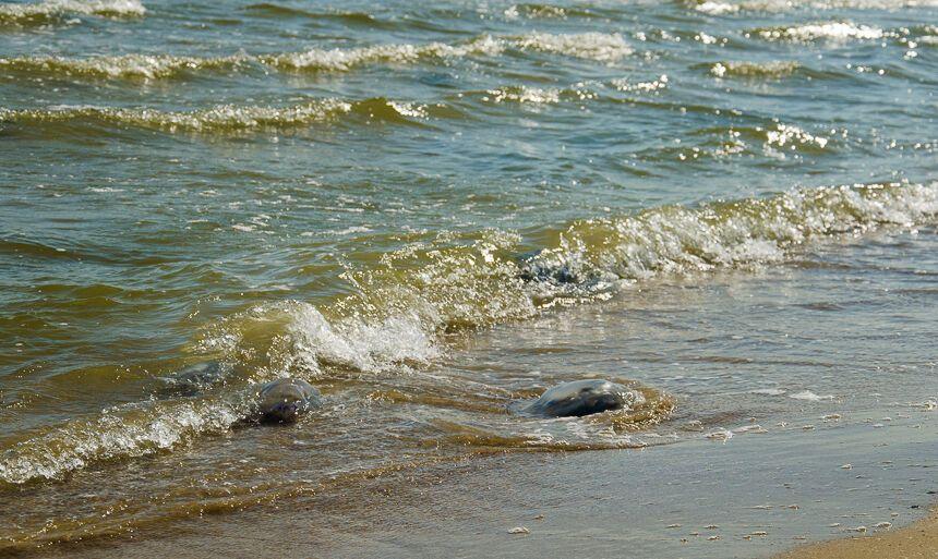 Пляжі Одеси заполонили гігантські медузи: з'явилися видовищні фото