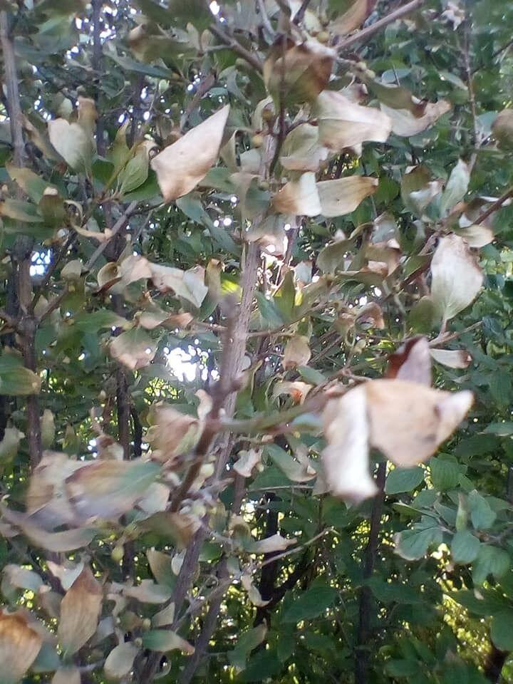 Листя засохло і обпадає