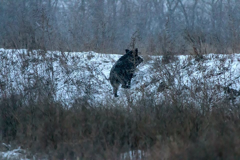 ''Ось це полювання'': на Хортиці помітили зграї диких тварин