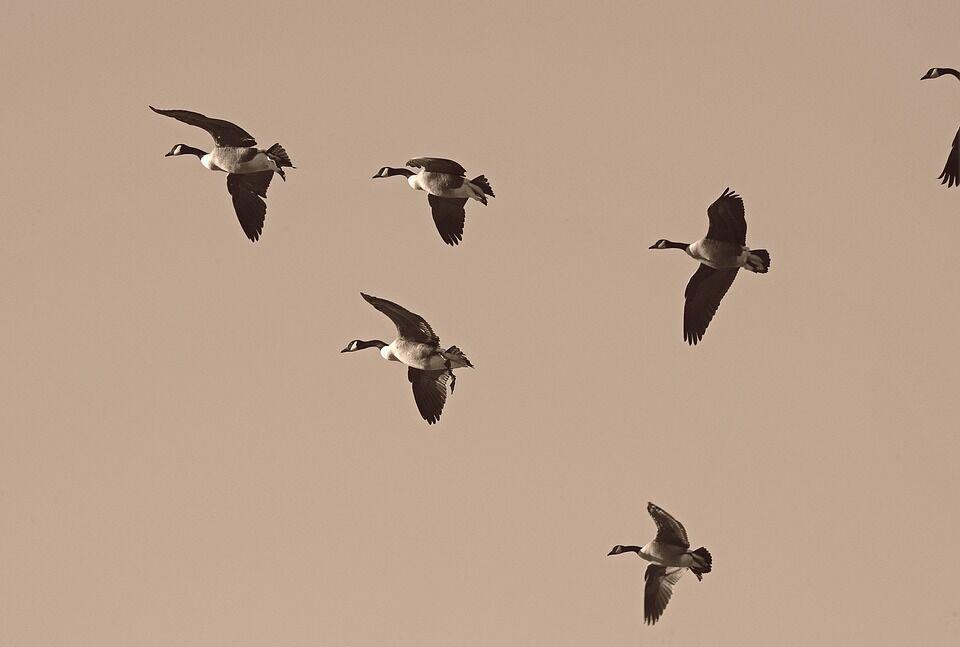 Миграция птиц (иллюстрация)