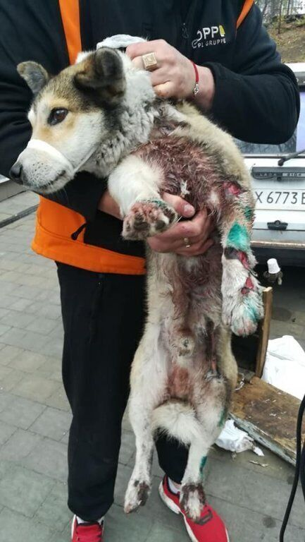 Собака сильно пострадала, у нее стерты лапы