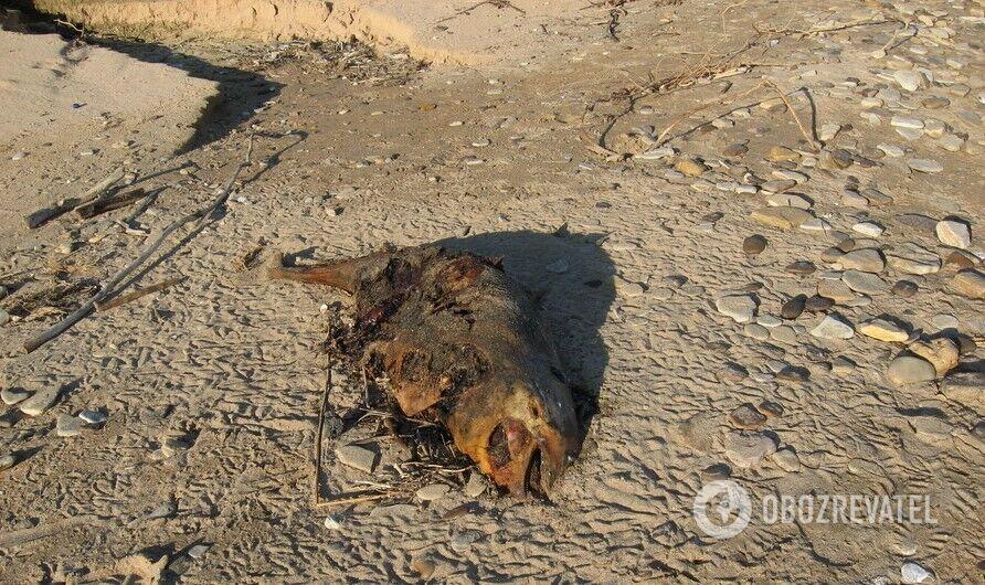 На одеське узбережжя викинуло мертвих дельфінів