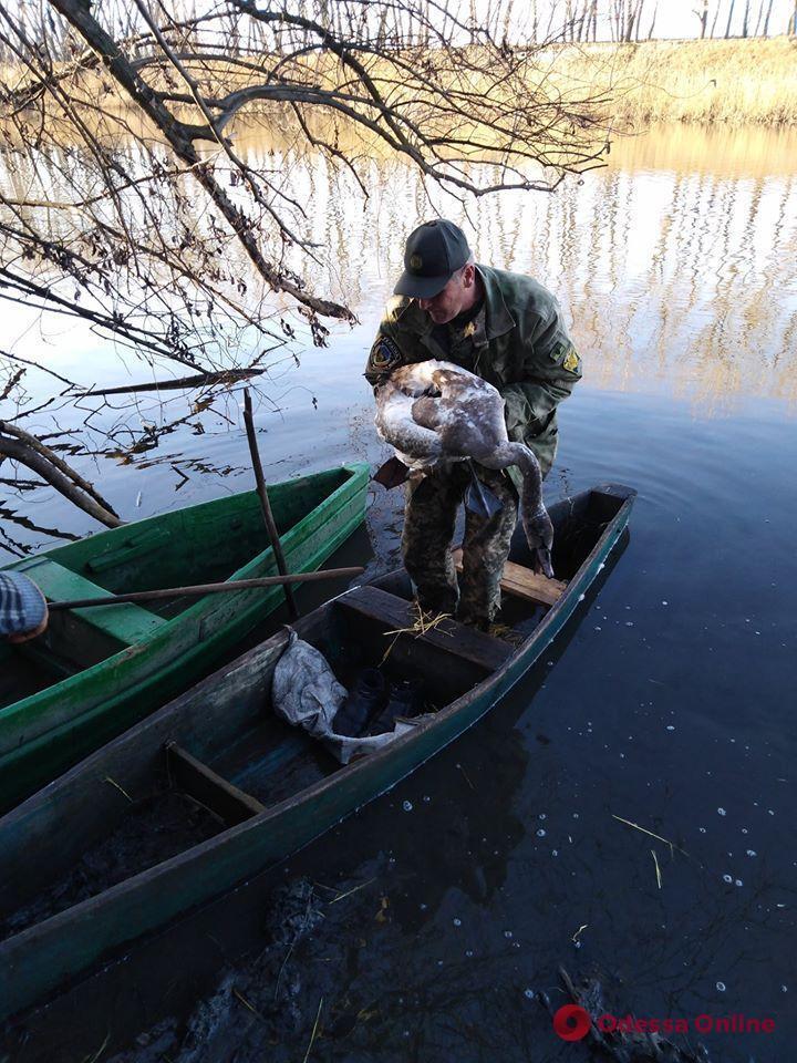 Під Одесою лісники врятували від хижаків пораненого лебедя
