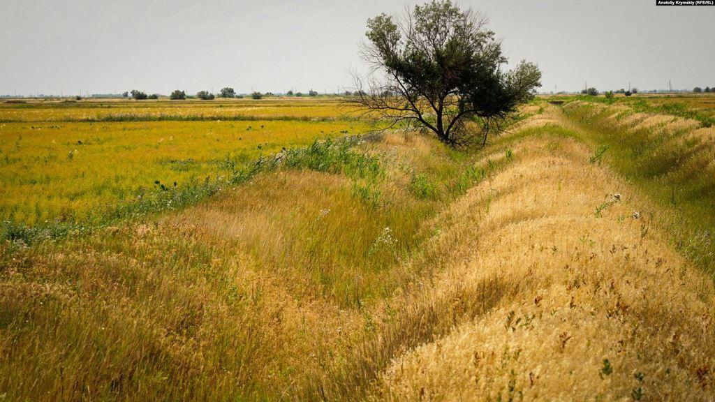 В Крыму рис не выращивают