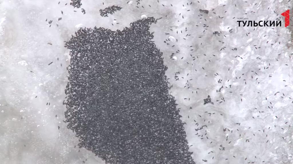 У Росії випав сніг із блохами
