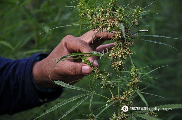 Озвучений прогноз щодо легалізації марихуани в Україні