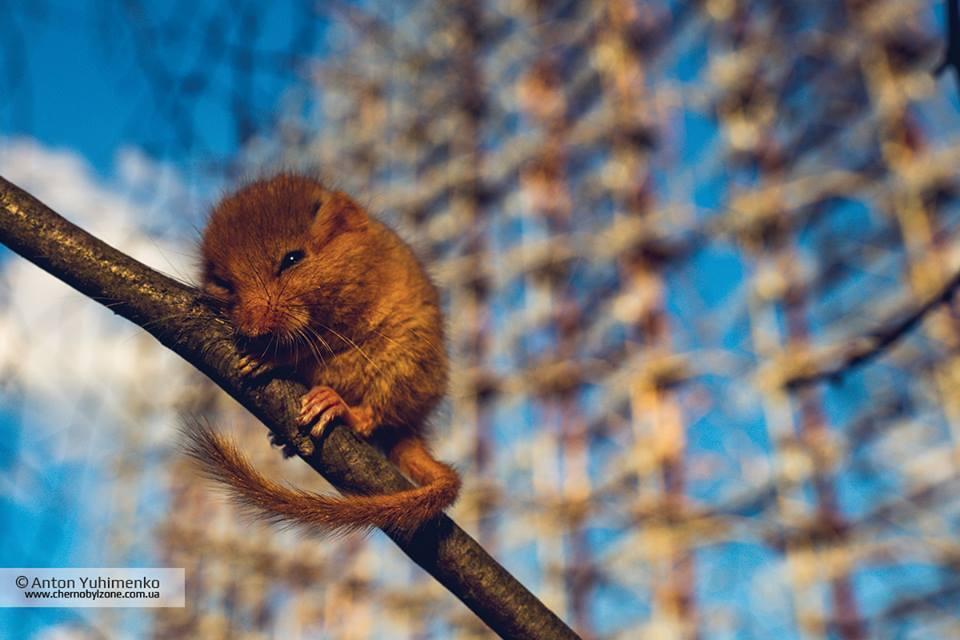 В зоне ЧАЭС заметили редкого зверька: милое фото